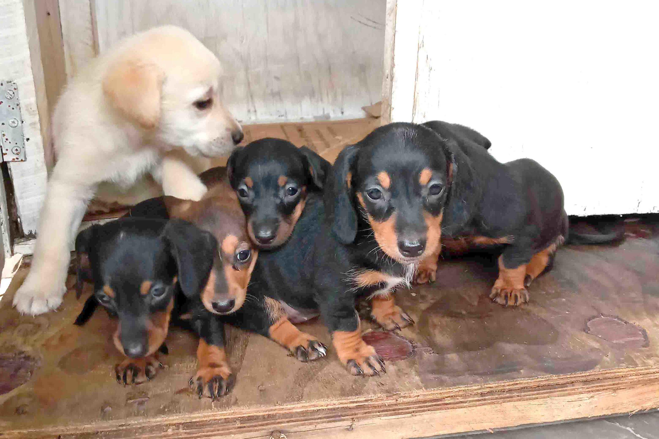 Labrador And Dachshund Puppy For Sale Sri Lanka Ikman Classified Ad